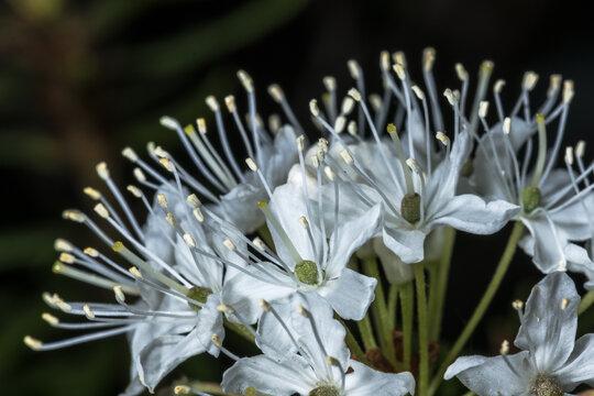Flowers of Marsh Labrador Tea (Ledum palustre)
