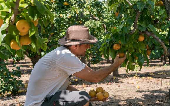 A middle-aged healthy man enjoys harvesting tree-ripe pears at an orchard.