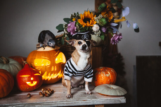Pretty eyeless pirat chihuahua on Haloween costume party
