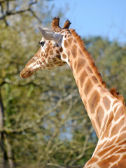 Closeup of giraffe (Giraffa camelopardalis) seen from behind
