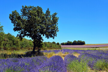 Lavender field and a tree with a field of Clary sage on the background on the famous Valensole plateau, a commune in the Alpes-de-Haute-Provence department in southeastern France