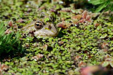 Head of edible frog (Pelophylax esculentus) on water among duckweed
