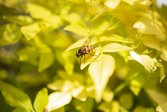 A close up of a Hoverfly, Syrphus Ribesii, resting on yellow Jasmine leaves in the summer sunshine.