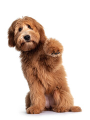 Wall Mural - Cute red / abricot Australian Cobberdog / Labradoodle dog pup, sitting up with one paw high in air. Mouth closed. Isolated on white background.