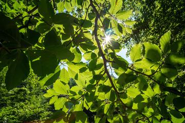 Sunshine Through Beech Trees