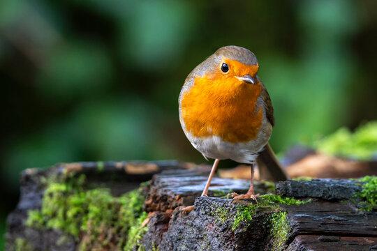 Robin redbreast ( Erithacus rubecula) bird a British European garden songbird with a red or orange breast often found on Christmas cards