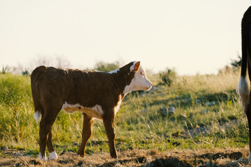 Wall Mural - Hereford beef calf shows brown baby cow with white face in farm grass field.