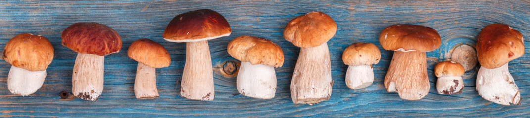 Forest edible mushrooms. Freshly picked boletus on a blue wooden background. Selective focus, top view, banner
