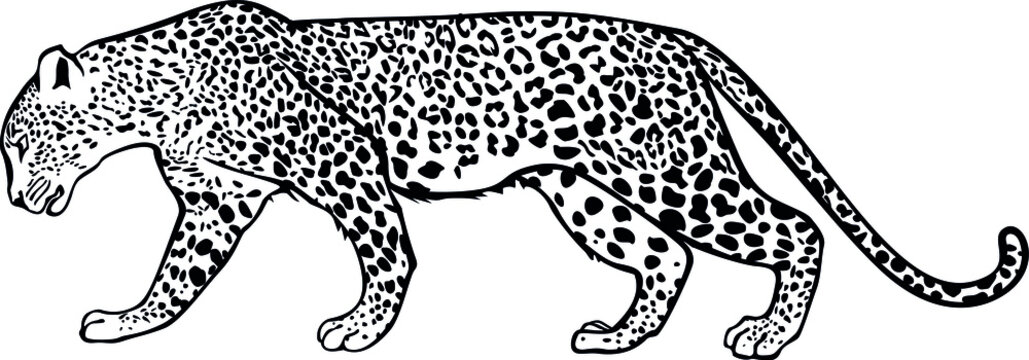 The walking leopard. Contour vector monochrome isolated image.