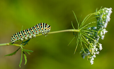 Foto op Canvas Vlinder Macro shots, Beautiful nature scene. Close up beautiful caterpillar of butterfly