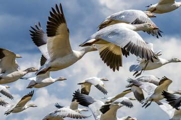 Many Snow Geese Flying Skagit Valley Washington