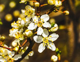 Pink Cherry Plum Blossom Blooming Macro Washington
