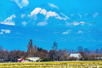 Snow Geese Flying Flock Mount Baker Skagit Valley Washington