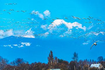Snow Geese Flying Mount Baker Skagit Valley Washington