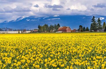 Yellow Daffodils Fields Flowers Skagit Valley Washington State