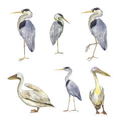 Set of pelicans and herons bird isolated on white background. Watercolor hand drawing illustration of wild birds. Grey heron and Great white pelican. Clip art of six elements.