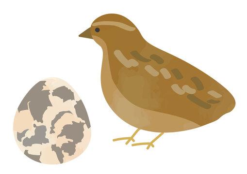 ウズラと卵のイラスト