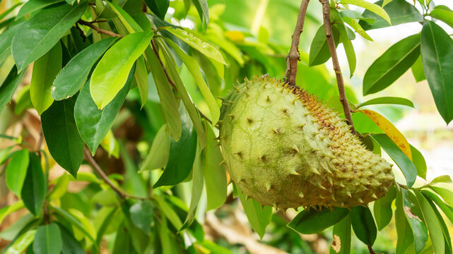 Green soursop fruit hanging on a soursop tree.