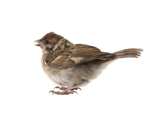 A small sparrow that flew out of the nest.