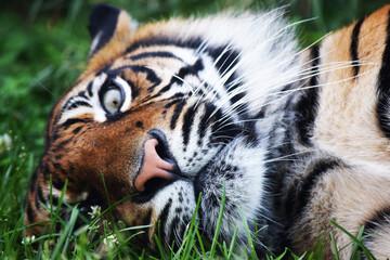 leżący tygrys sumatrzański