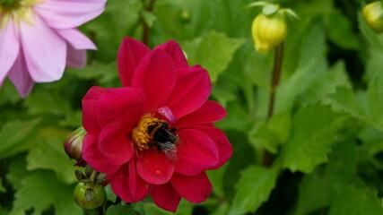 Obraz czerwony, kwiat, bee,  - fototapety do salonu