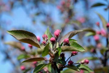 Obraz Jabłoń rajska - fototapety do salonu