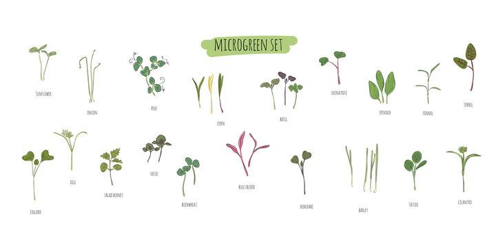 Vector set of microgreens. Herbs - pea, sunflower, onion, peas, corn, basil, china rose, spinach, fennel, sorrel, collard, dill, salad burnet, shiso, buckwheat, bulls blood, kohlabi, barley, tatsoi.