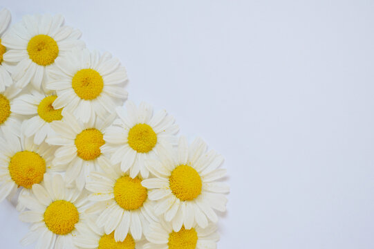 Pile of fresh medicinal roman chamomile flowers isolated on white background