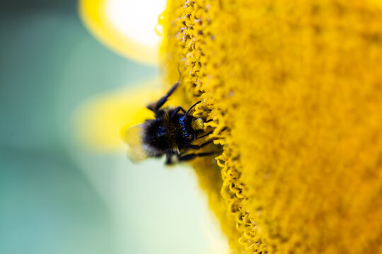 bee on the sunflower, summertime, sunflowerfield