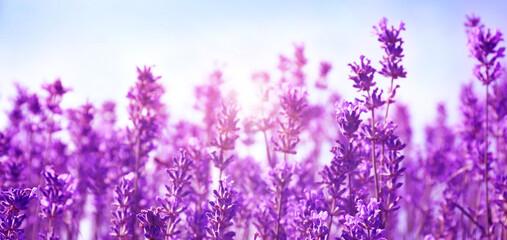 Beautiful lavender field under blue sky, closeup. Banner design