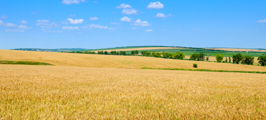 Wheat field against a blue sky. Wide photo.
