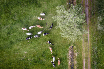 Drone view of cows on a pasturage in Mazowsze region of Poland