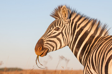 Plains zebra (Equus quagga) eating
