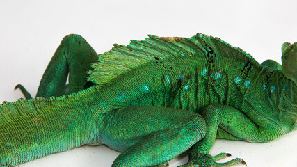 Basiliscus plumifrons - the skin of an adult green basilisk, also known as double crested basilisk, or Jesus Christ lizard, sitting on a white background.