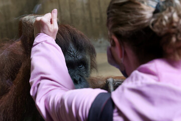 Lucy the orangutan and visitor greet each other with mirrored hands as the National Zoo reopens for patrons for the first time since the coronavirus disease (COVID-19) outbreak in Washington