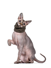 Wall Mural - Young adult Sphynx cat, sitting side ways wearing green collar. Looking at camera with light blue eyes. Isolated on white background. One paw playful in air.