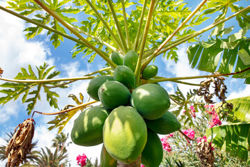 Carica papaya more commonly known as papaya tree growing in tropical regions and carrying abundant unripe pear-shaped fruit, highly valued for its health benefits, also named the fruit of the angels