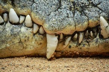 Fotobehang Krokodil Krokodil im Kölner Zoo in Deutschland