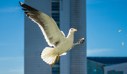 White sea gull in the background of a skyscraper.