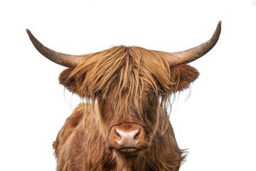 Photo sur Aluminium Vache highland cow on white background, headshot