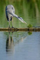 Grey heron (Ardea cinerea) fishing in a pond
