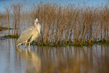 Grey heron (Ardea cinerea) big fish