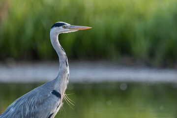 Grey heron (Ardea cinerea) close up with soft background