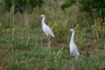 Cattle egrets (Bubulcus ibis) in grass
