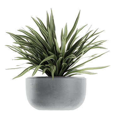 Chlorophytum in a black pot isolated on white background