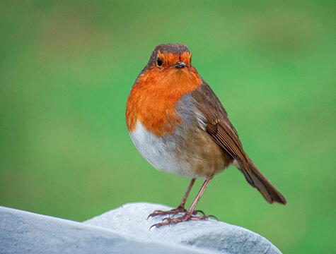 Irish Robin Bird