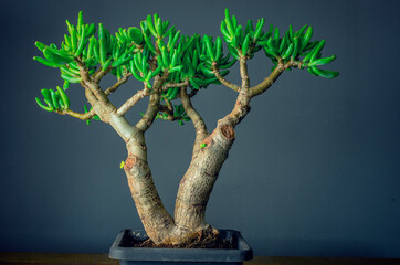 Wall Murals Bonsai Succulent plant called Crassula ovata Gollum, commonly known as jade plant, lucky plant, money plant or money tree