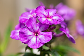 Purple Phlox flower at shallow depth background