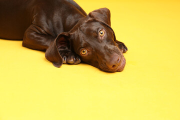 Canvas Prints Countryside German Shorthaired Pointer dog on yellow background