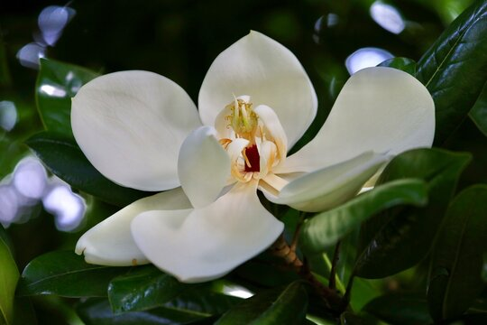 The white flower of southern magnolia. Magnolia grandiflora, commonly known as the southern magnolia or bull bay, is a tree of the family Magnoliaceae.